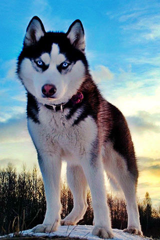 Photo of Husky HD (p.27270183) - BsnSCB.com