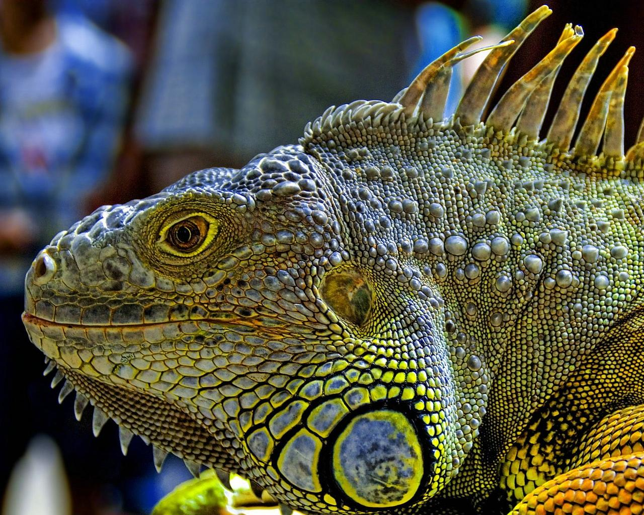 Iguana Wallpapers New