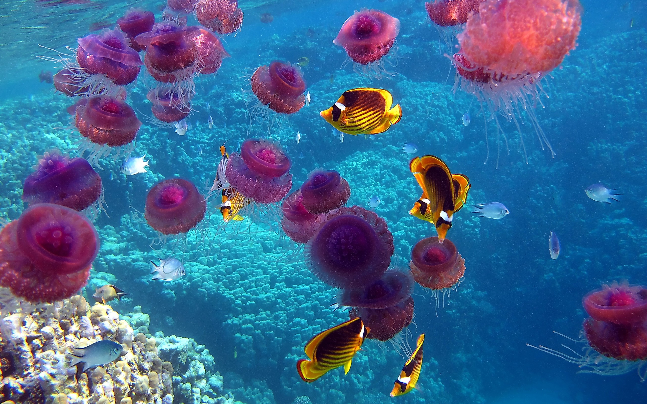 Free Download Jellyfish Wallpapers, .TKP54