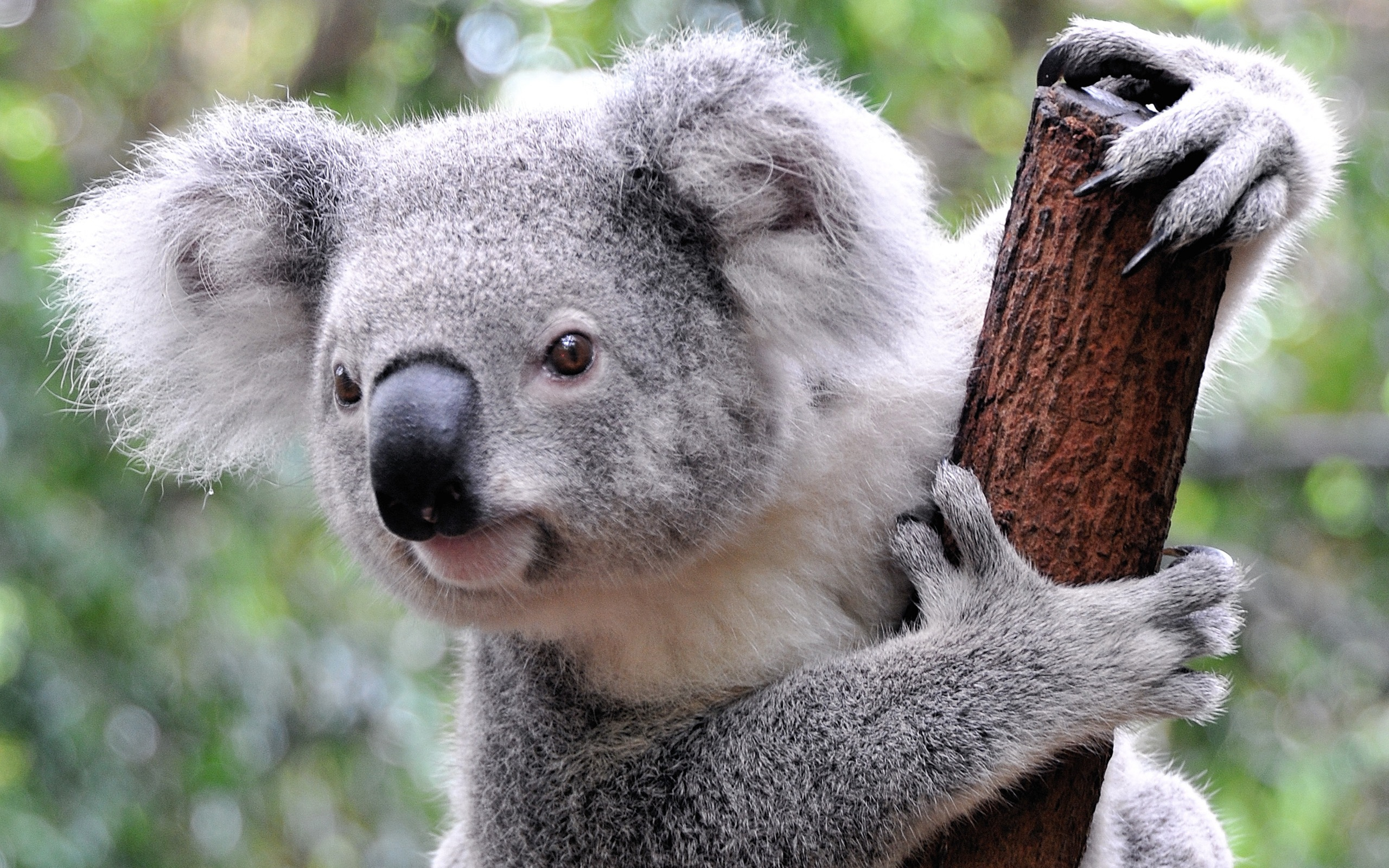 Tag: HQ Definition Koala Wallpapers, Backgrounds and Pictures for Free, Dede Haines