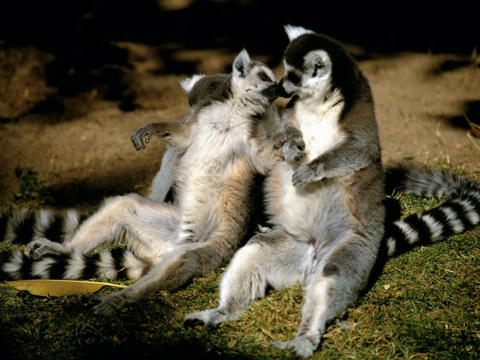 Awesome Lemur Images Collection: Lemur Wallpapers