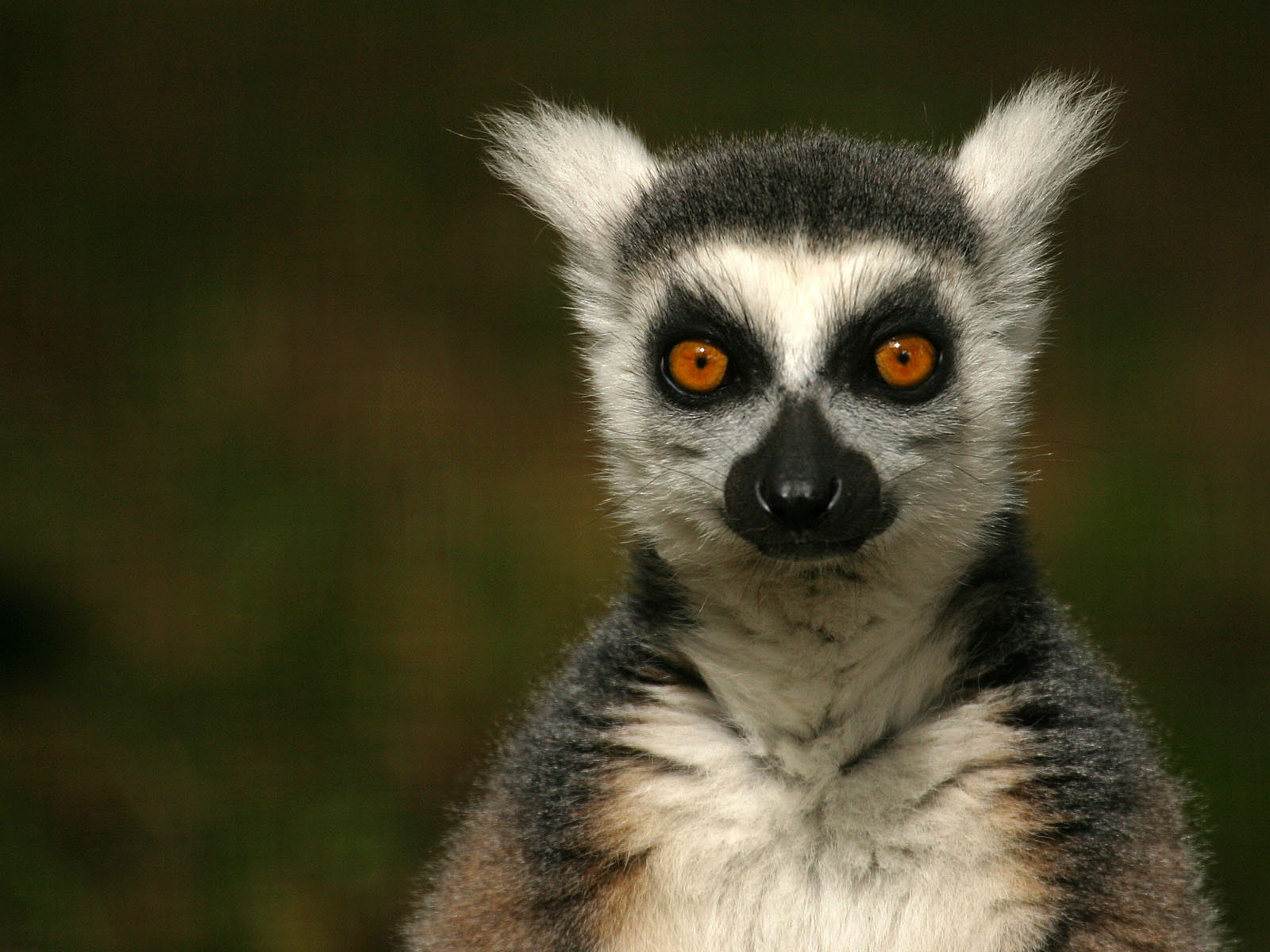 HD Lemur Wallpapers and Photos, 1600x1200 px | By Franklyn Seats