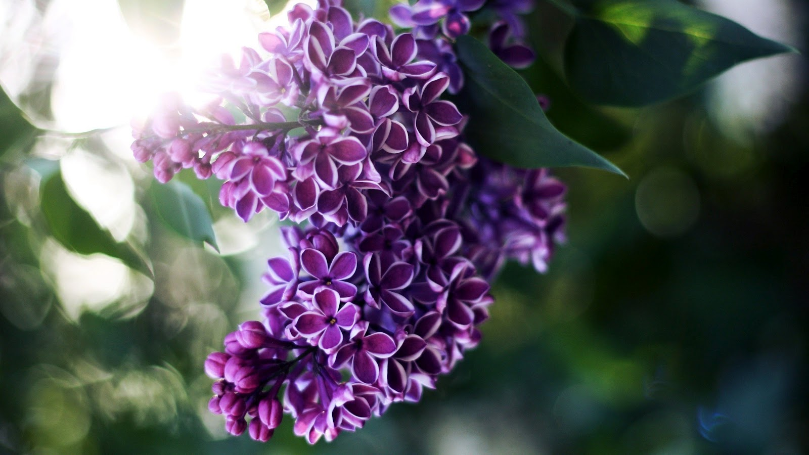 PC, Laptop Lilac Flowers Wallpapers, BsnSCB Gallery