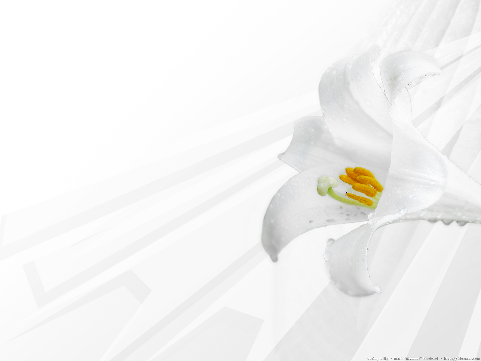 PWT62: Lilies Wallpaper 1600x1200 px Download