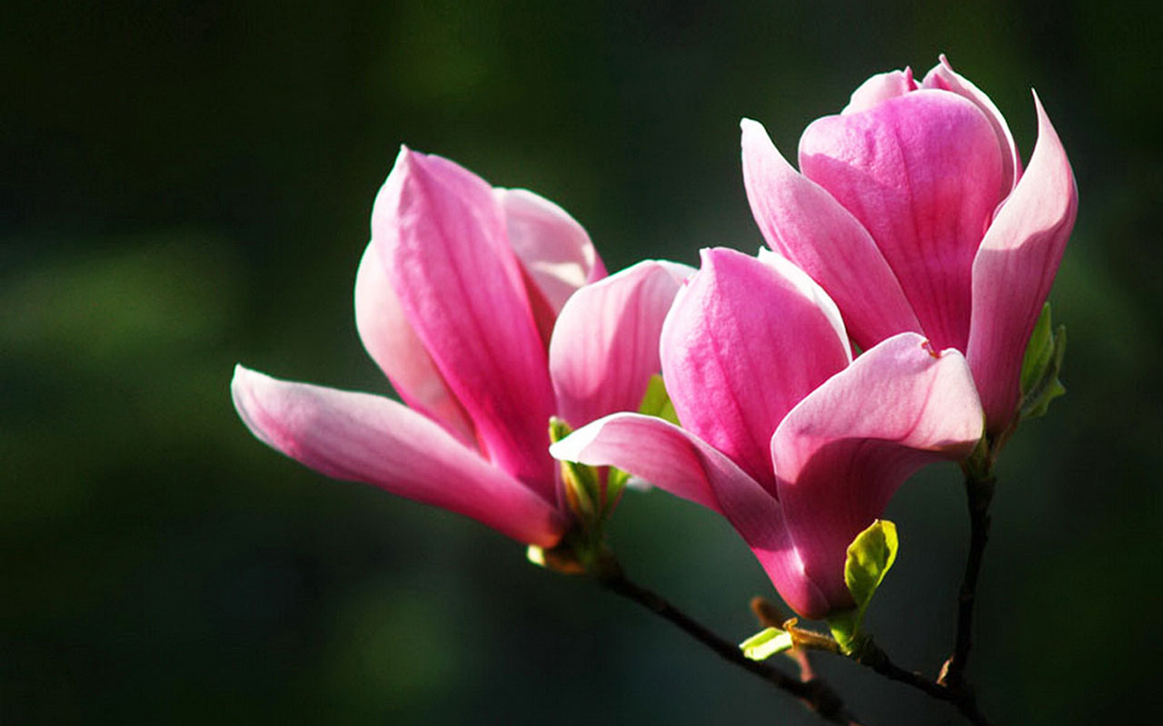 Pictures In High Quality: Magnolia by Leroy Krupp, September 26, 2014