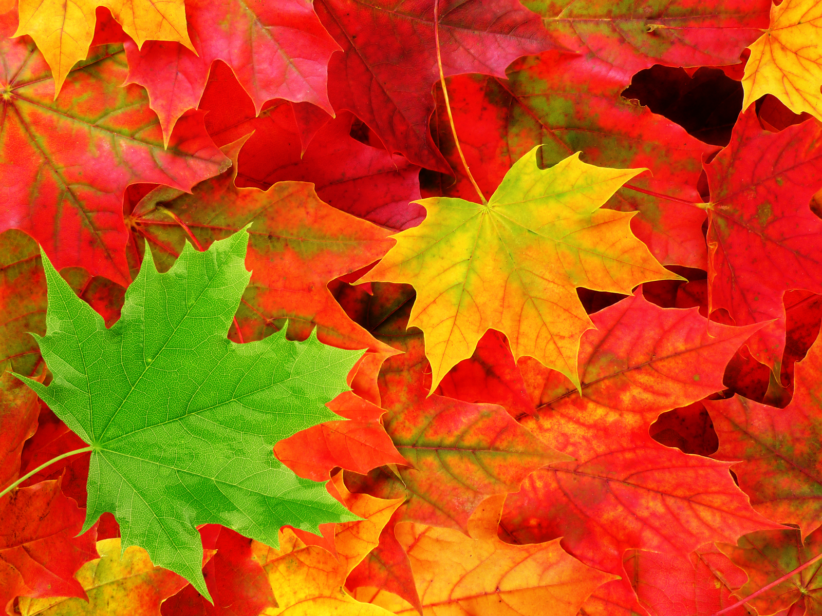 FXW.56 Gallery: Autumn Leaves, 3668.11 Kb
