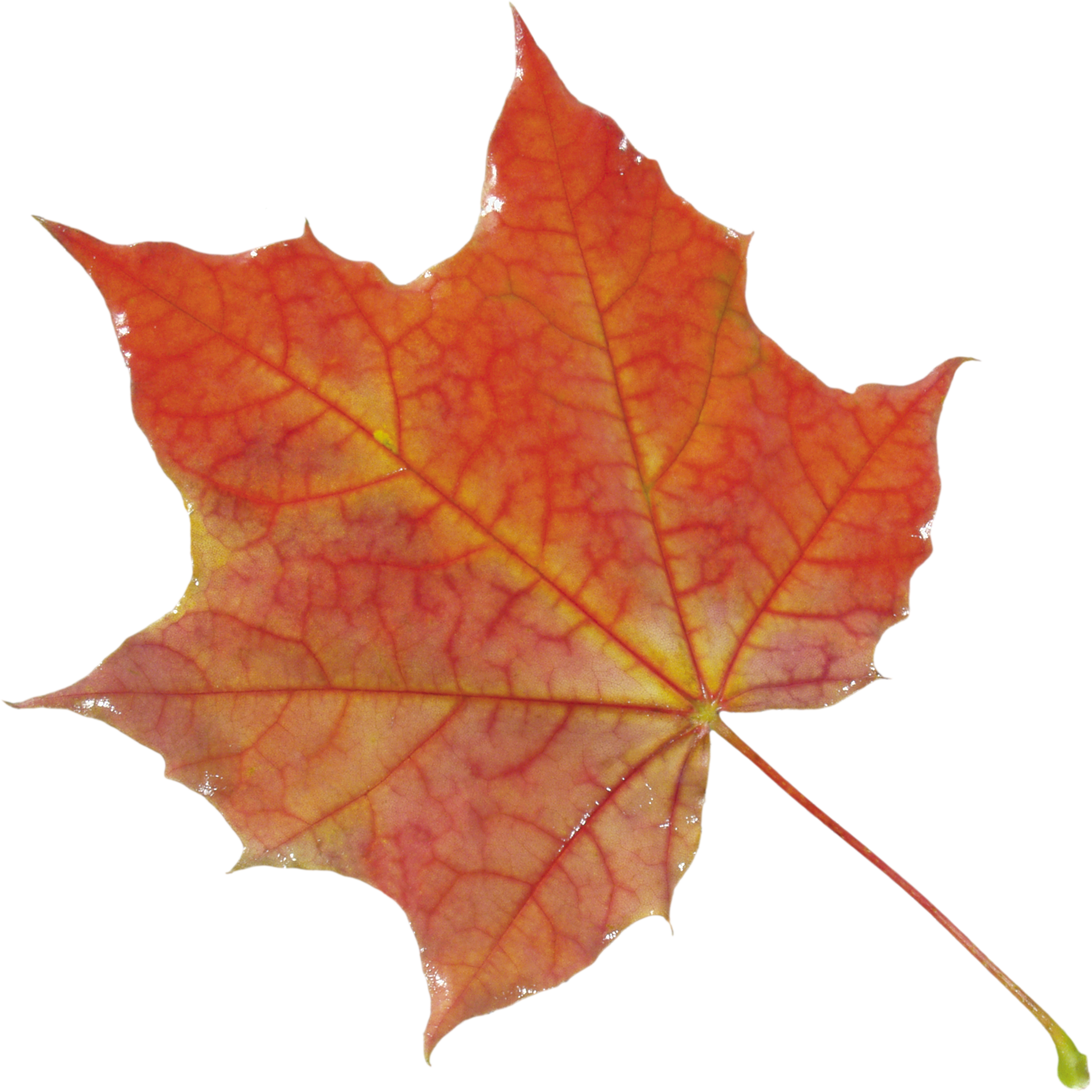 October 25, 2015: Autumn Leaves Wallpapers, 2509x2510 px