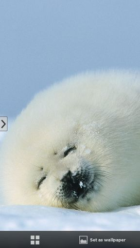 High Resolution Live Baby Seal Backgrounds - 27160029, Victorina Sapp