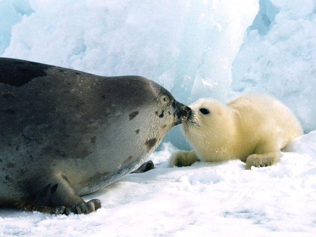 03.28.15: Baby Seal Wallpapers, 640x480 px