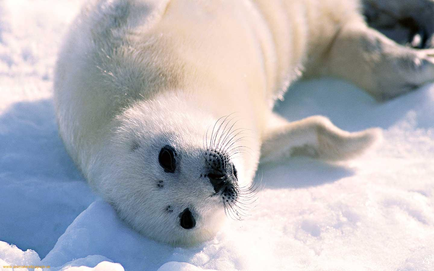 Top Baby Seal HD Wallpapers | Nice Backgrounds