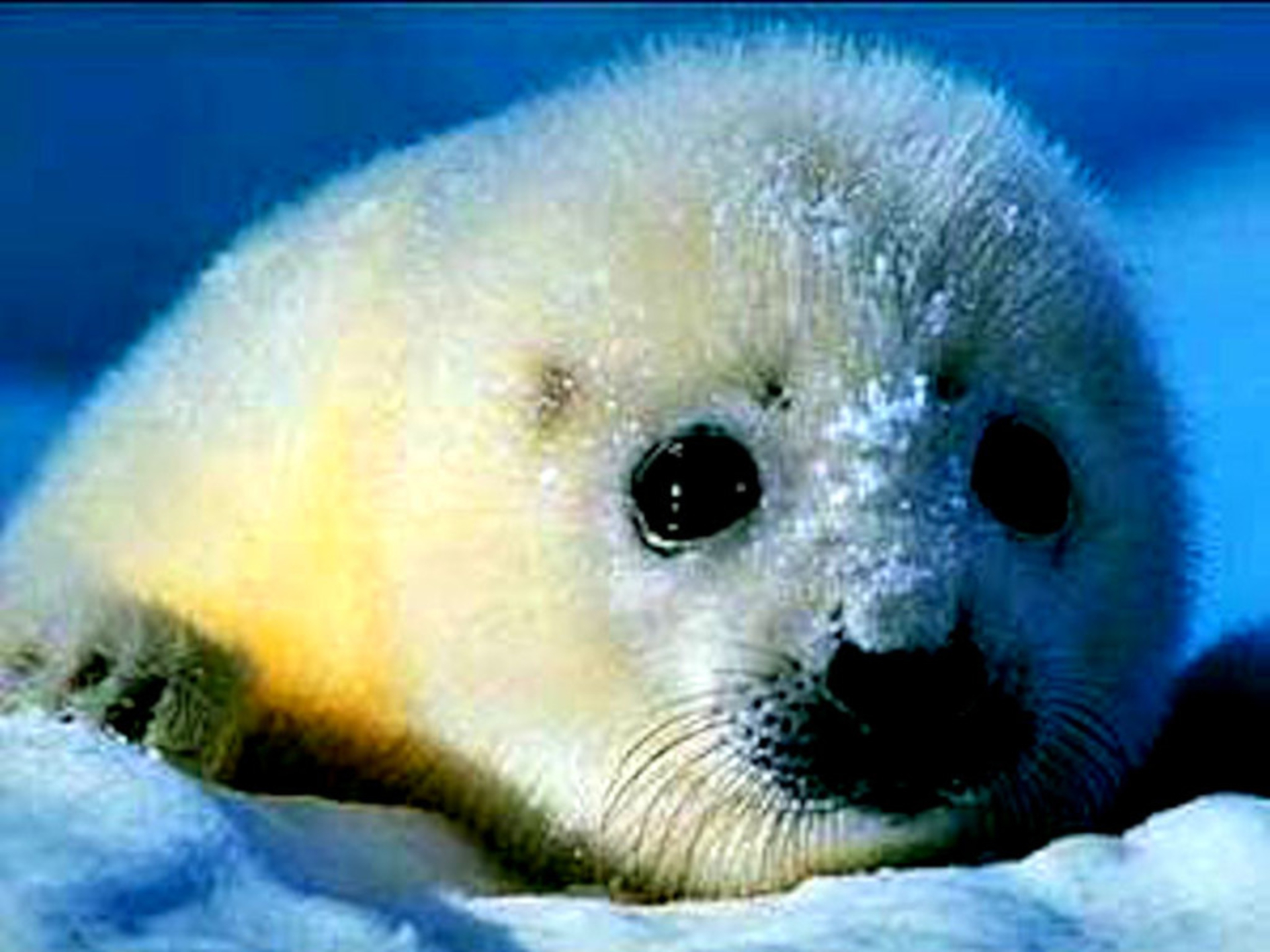 Beautiful Baby Seal Wallpaper | B.SCB WP&BG Collection
