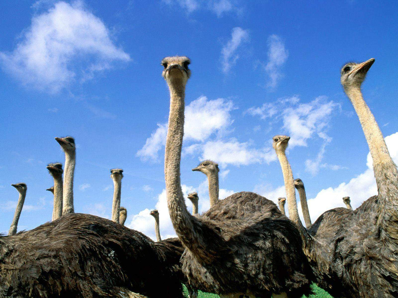Ostrich HDQ Images