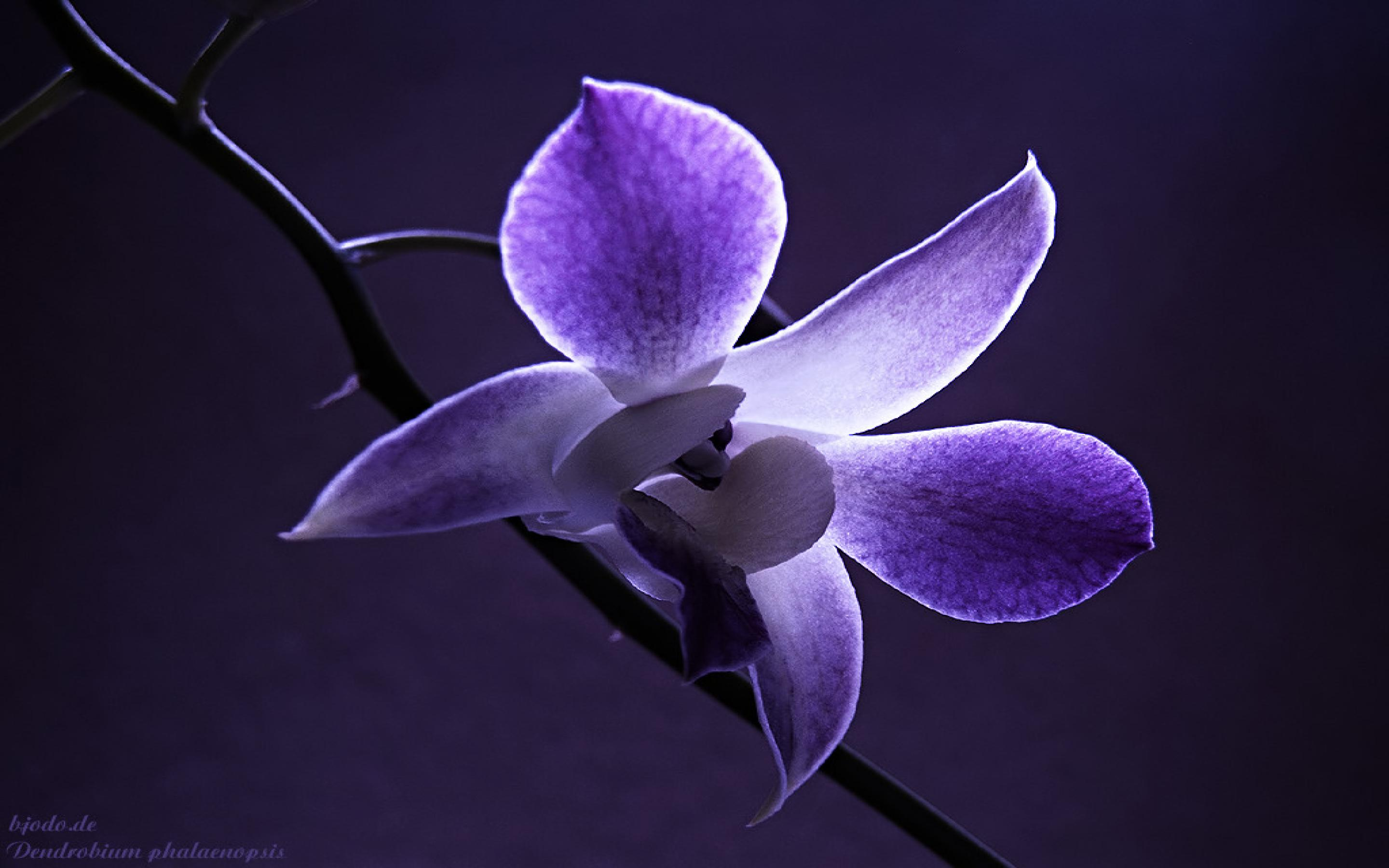 Download Orchid HD:5151-LOE Pictures, B.SCB Wallpapers