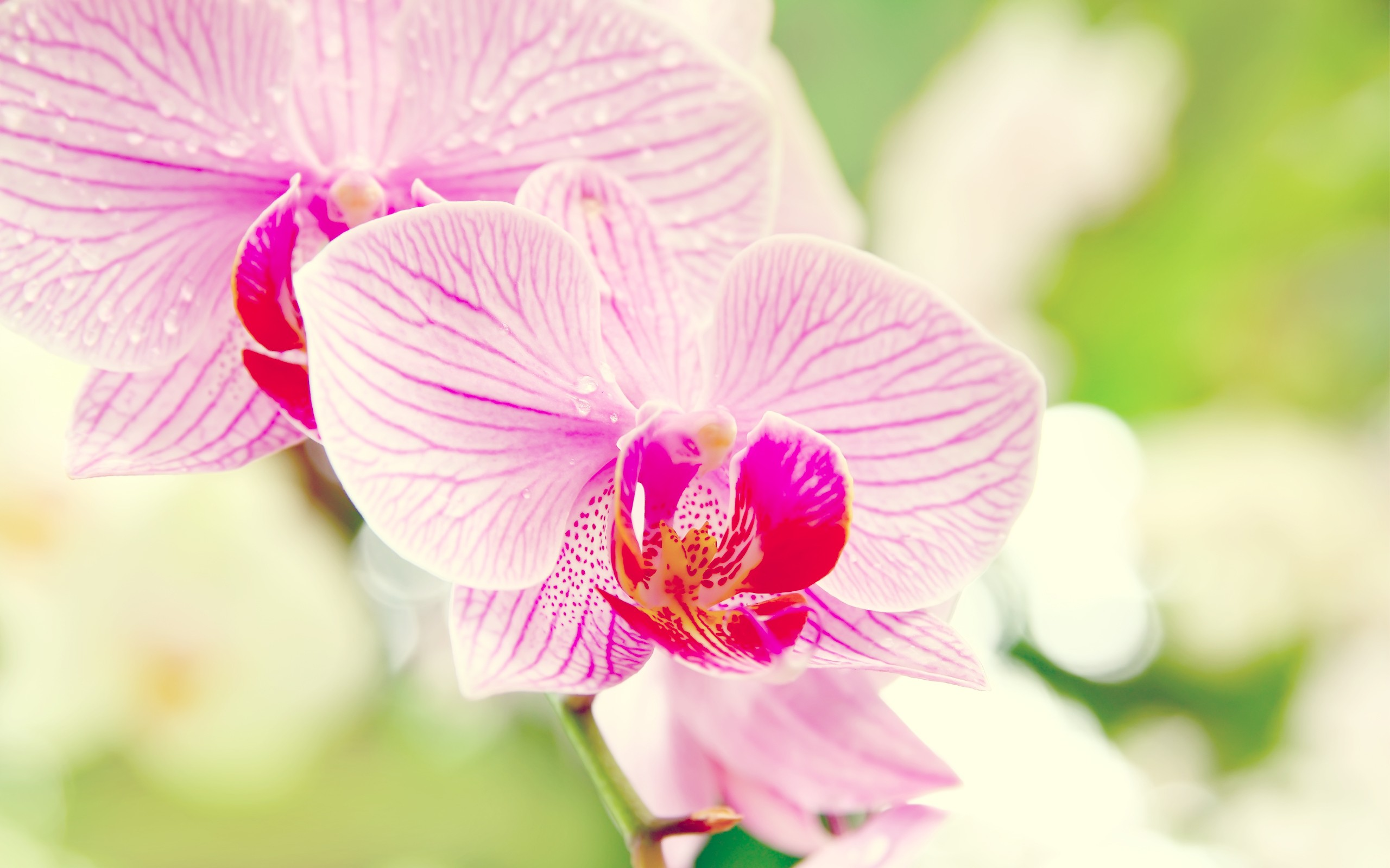 100% Quality Orchid HD Wallpapers, 2560x1600