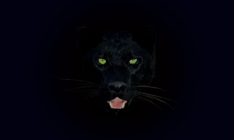 Full HD Wallpapers Panther 75.64 Kb