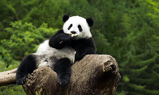 HD Images Collection of Pandas: 27152008 by Azzie Pasco