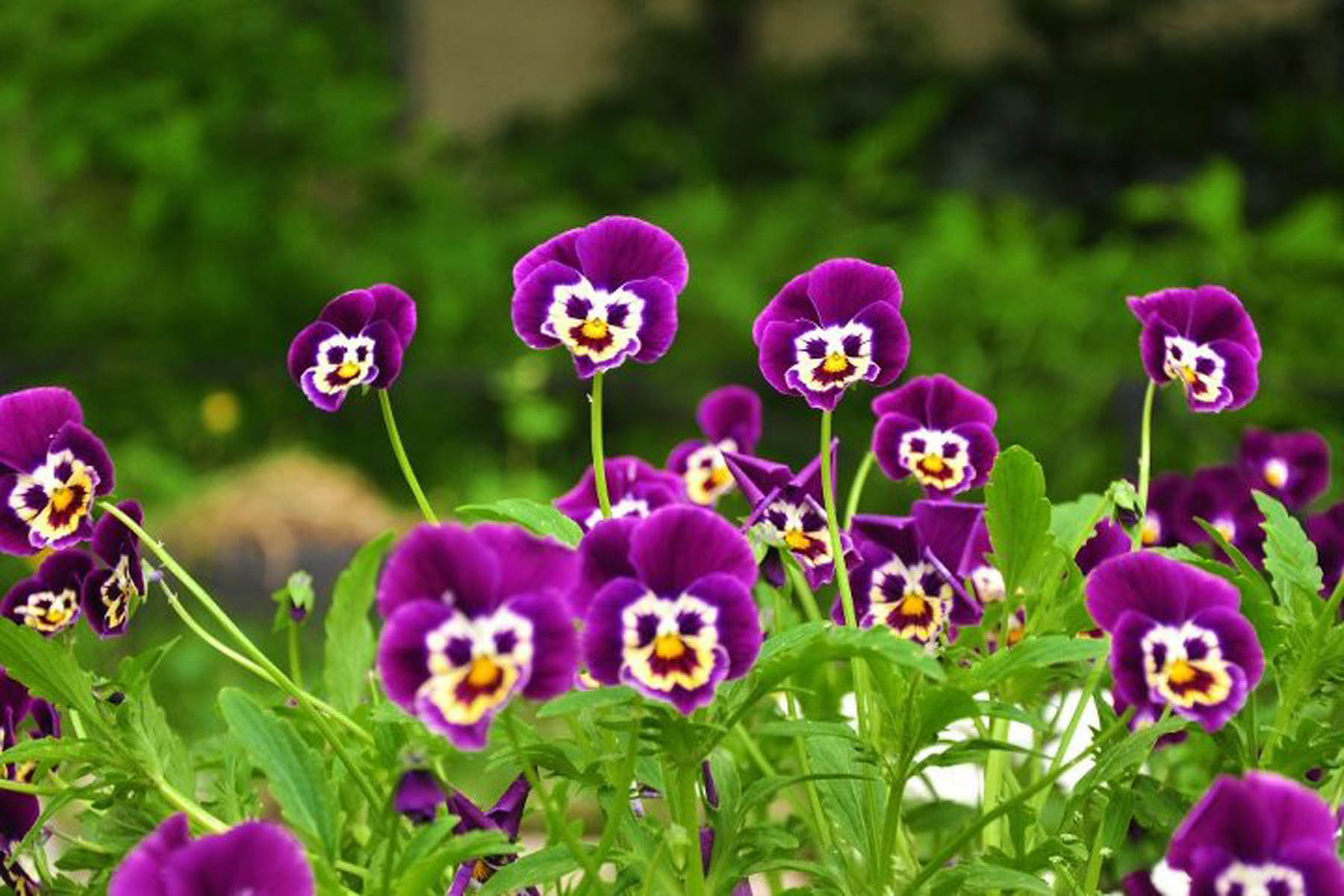 CZQ35: Pansy Flowers Wallpaper 1800x1200 px Download