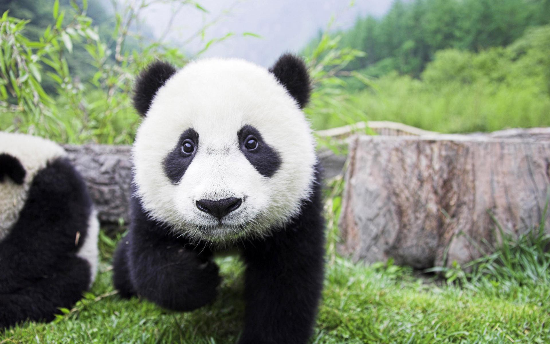 Top Pictures: Amazing Panda Images Collection