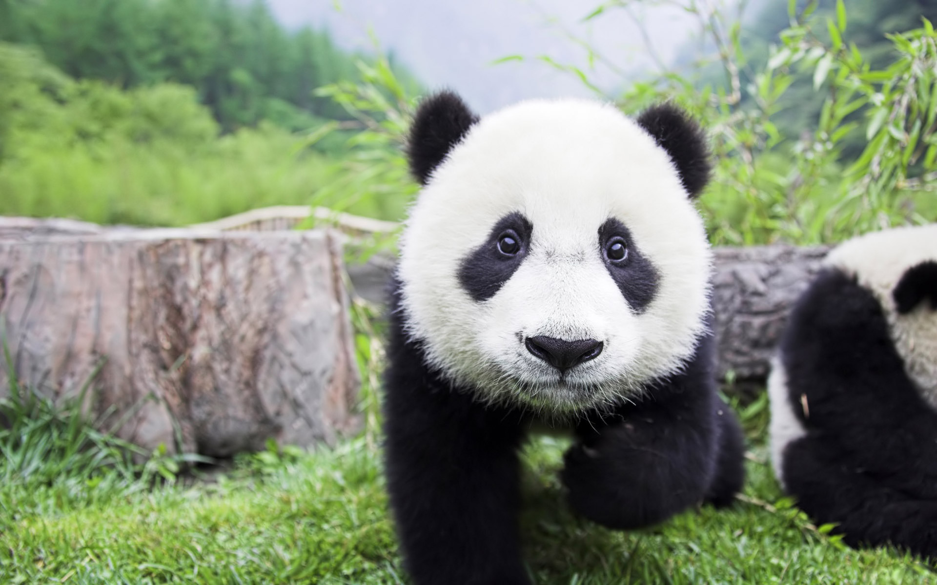 HD Quality Images of Pandas » #39787686 1920x1200 px