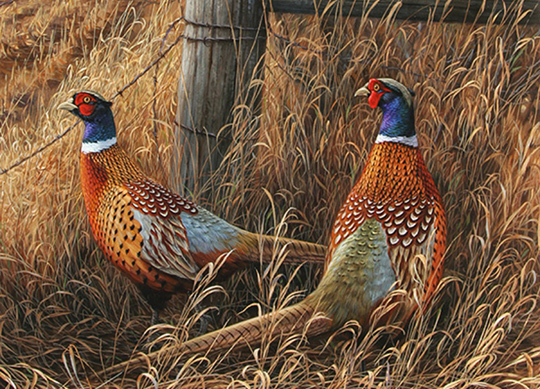 Widescreen Wallpapers: Pheasant, (540x389, V.79) - B.SCB
