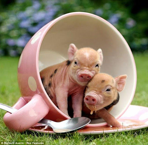 Mobile Pig Pictures› HQ Definition BsnSCB.com