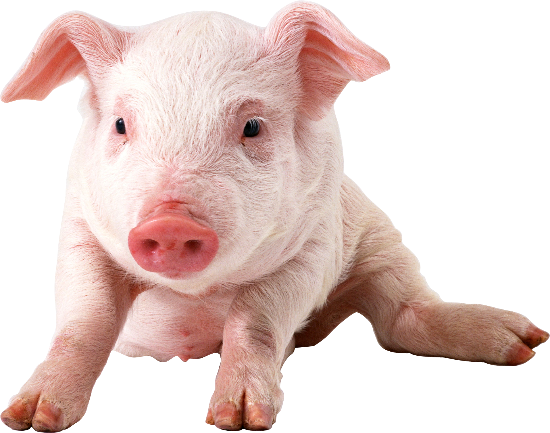 Wide HDQ Pig Wallpapers, Fine Images | B.SCB WP&BG Collection
