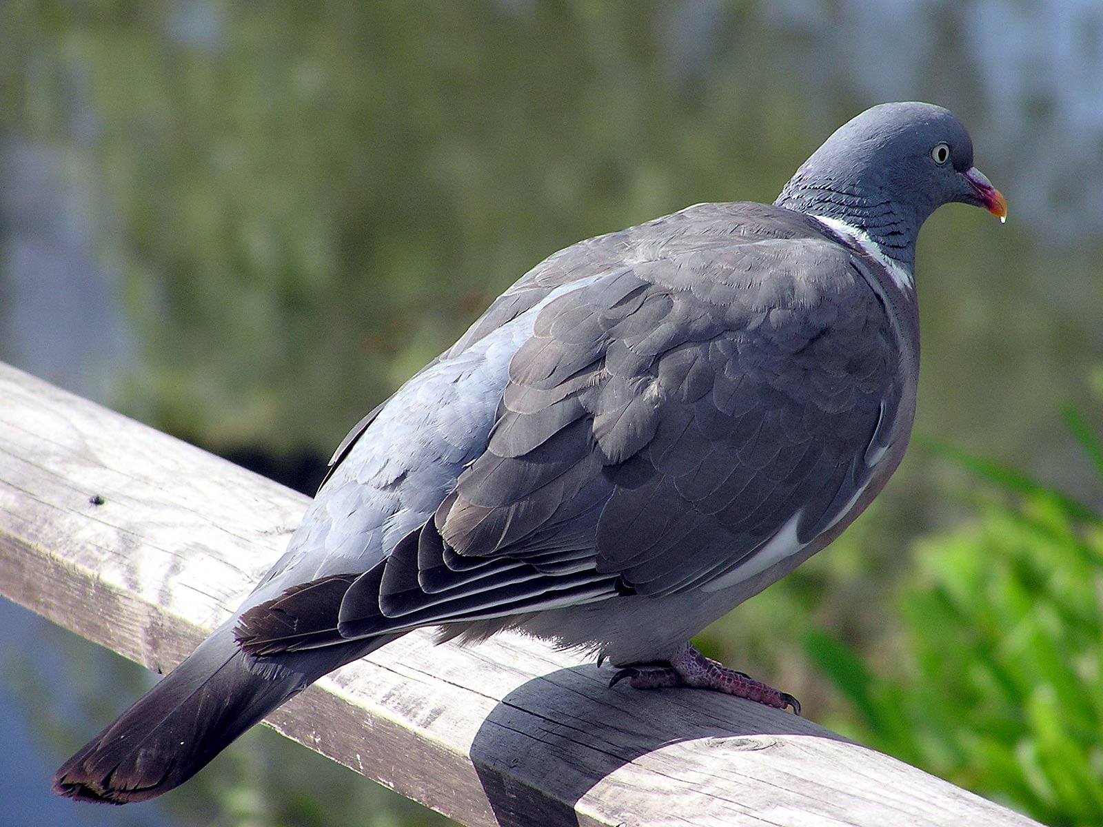 Pigeon Images by Chia Broomfield on B.SCB Wallpapers