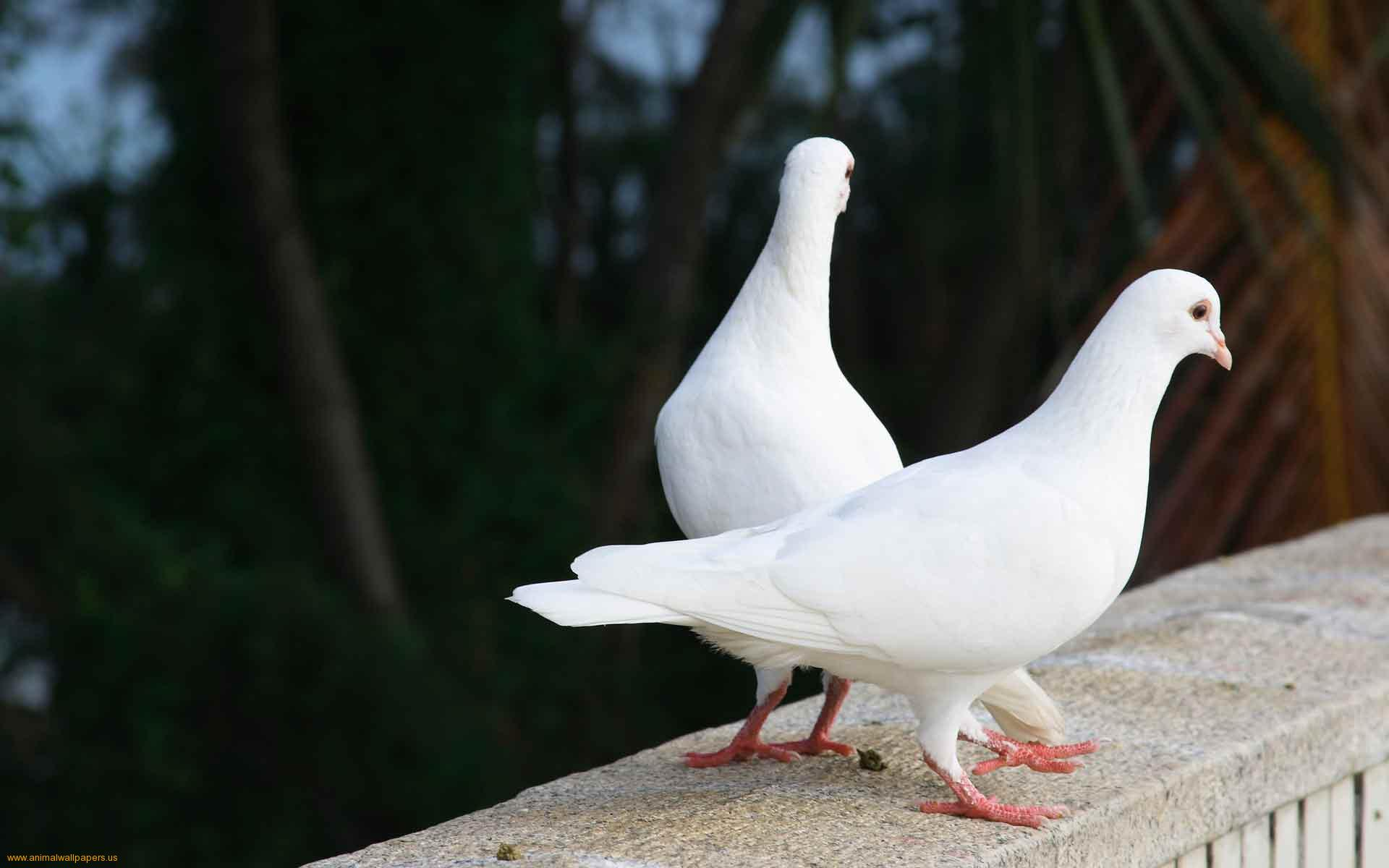 Full Full HD, Pigeon, Margy Coulombe