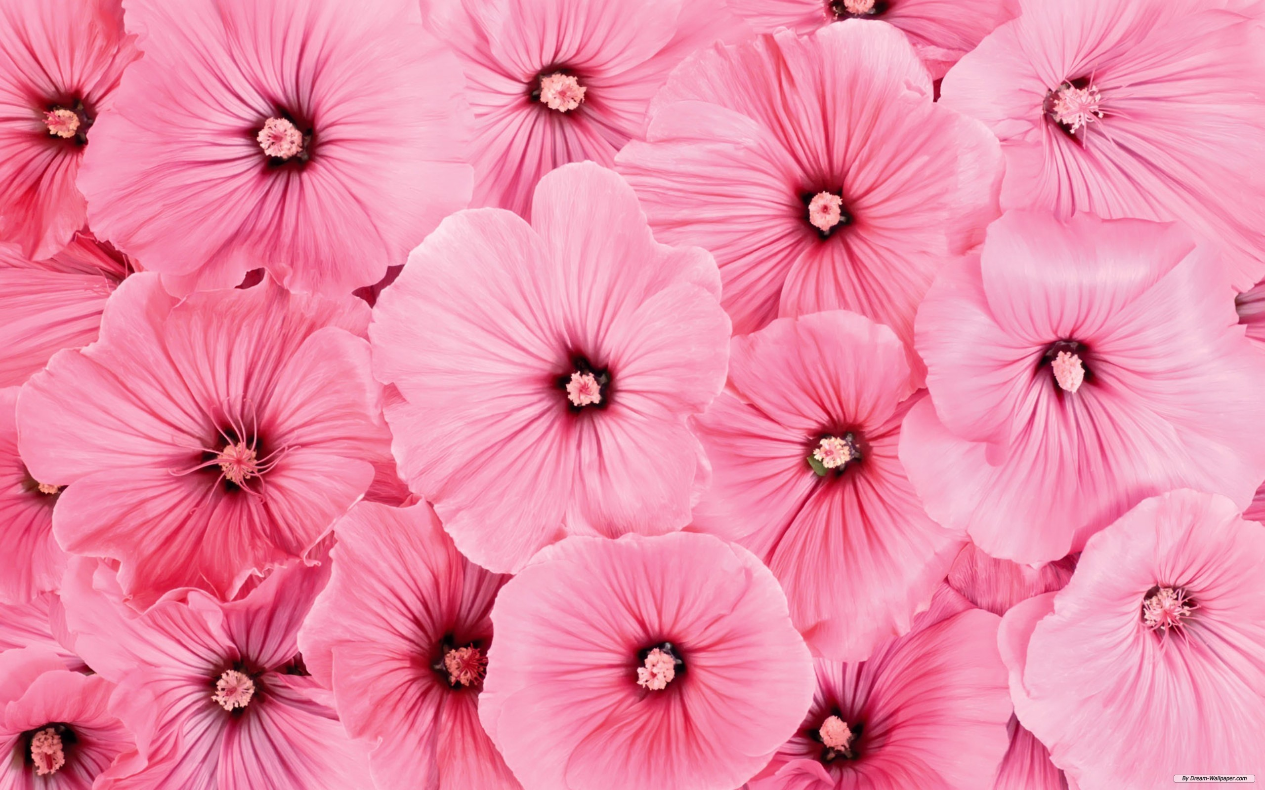 #38986428 Pink Flowers Wallpaper for PC, Mobile