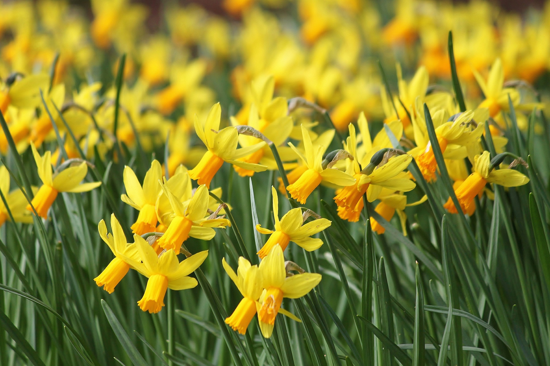 Wallpapers of Pretty Daffodil HD, 0.79 Mb, Mia Cammack
