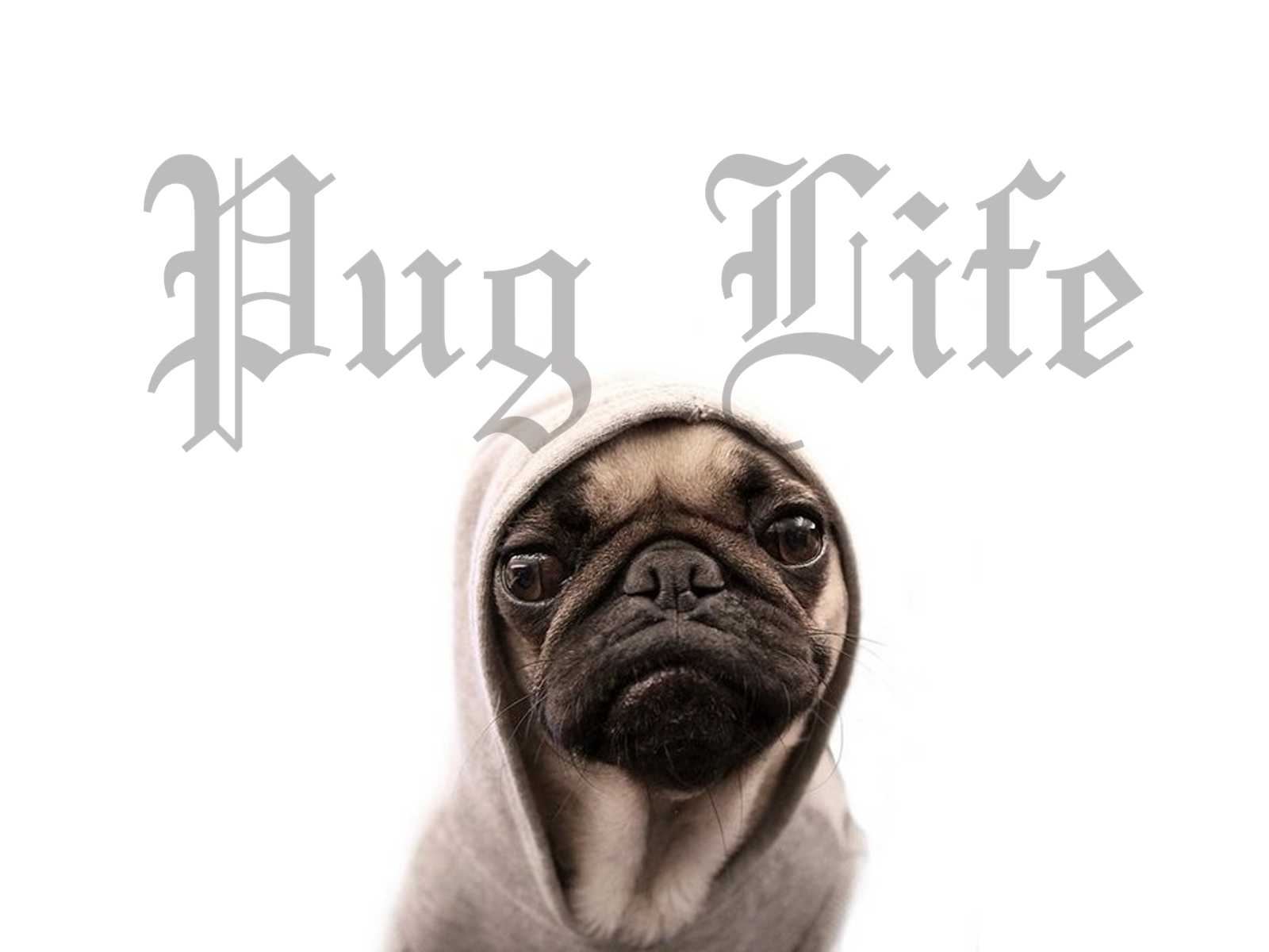 1600x1200 Pug Widescreen Image | Amazing Pictures, v.19