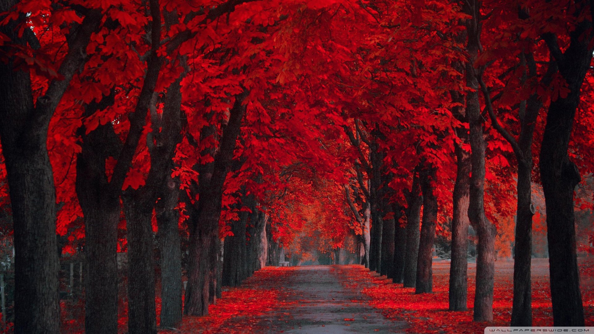 red leaves fall full hd quality wallpapers, 50+ widescreen wallpapers
