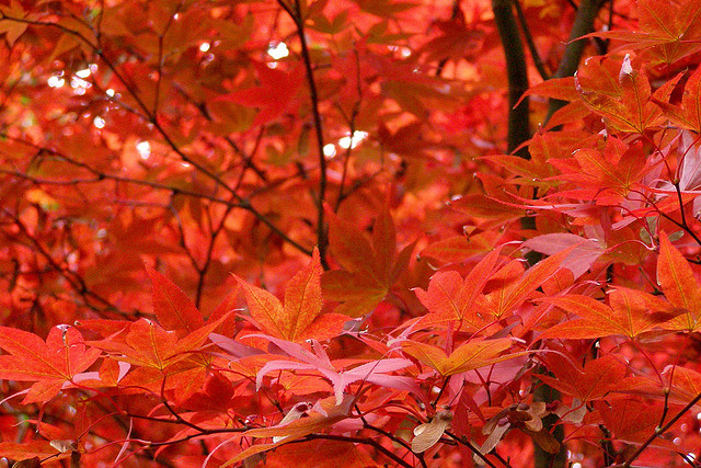 PC.9494, Red Leaves Fall, HD Photo Collection