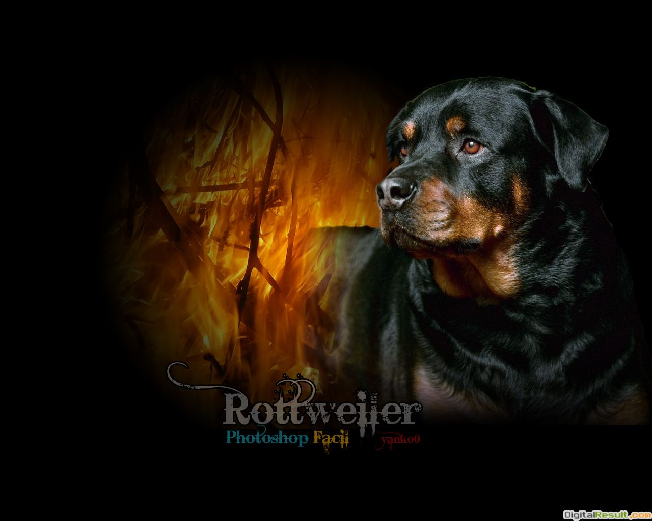Rottweiler Wallpapers | Rottweiler Full HD Quality Wallpapers