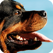 Rottweiler Wallpapers, 170x170 | Wallpapers PC Gallery