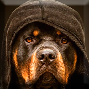 Gallery For 39204062: Rottweiler Wallpapers, 300x300