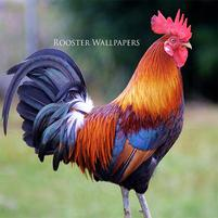 Rooster HD Widescreen Wallpapers - DXI-FHDQ Photos