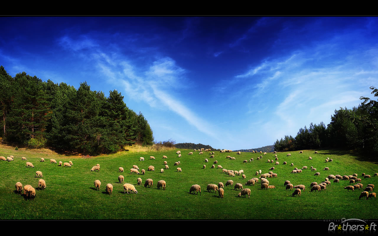 Sheep – High Quality HD Wallpapers