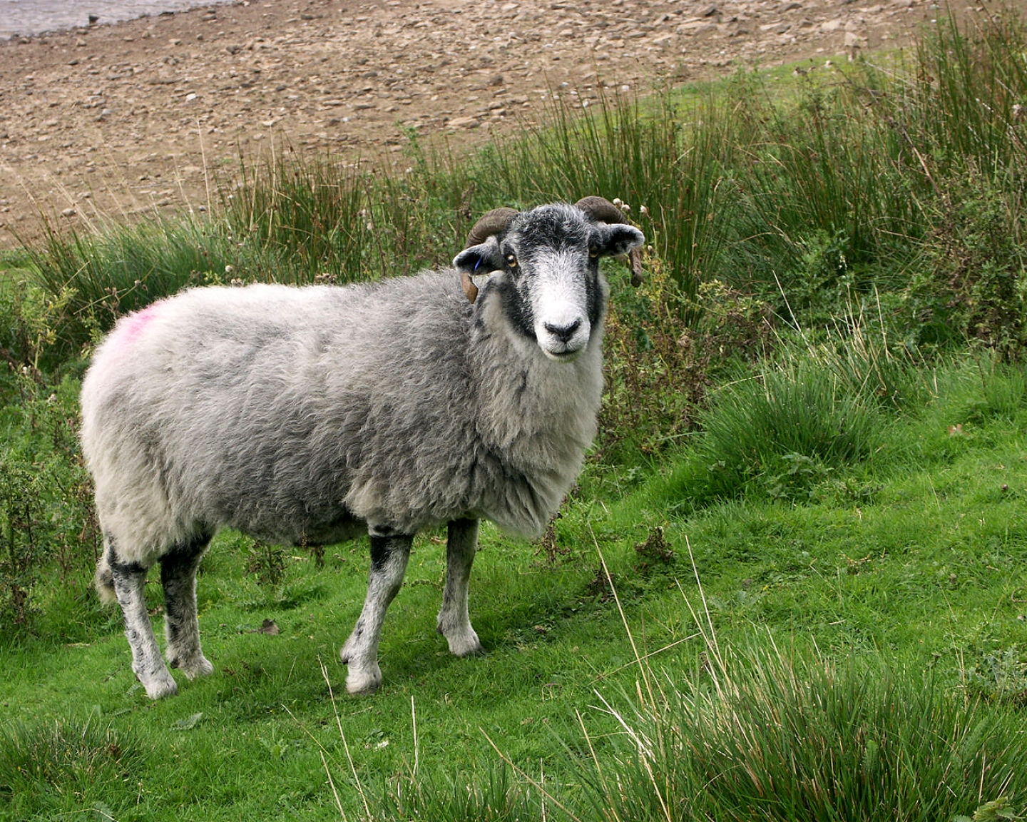 Widescreen Wallpapers of Sheep - Best Pictures