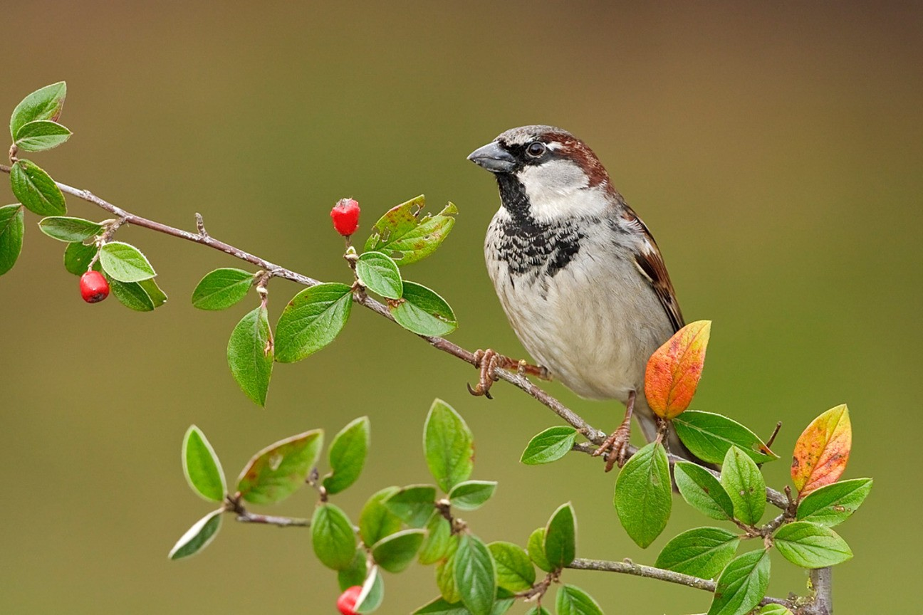 Download Free Sparrow Wallpapers 1296x864