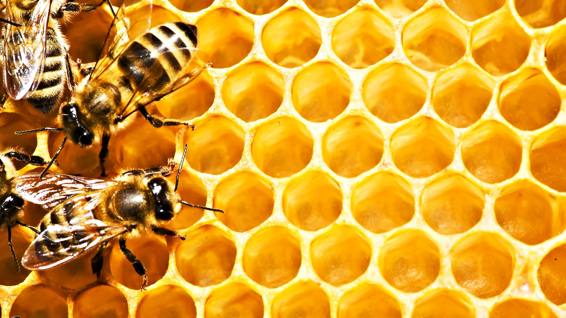 Widescreen Wallpapers of Bees – Amazing Pictures