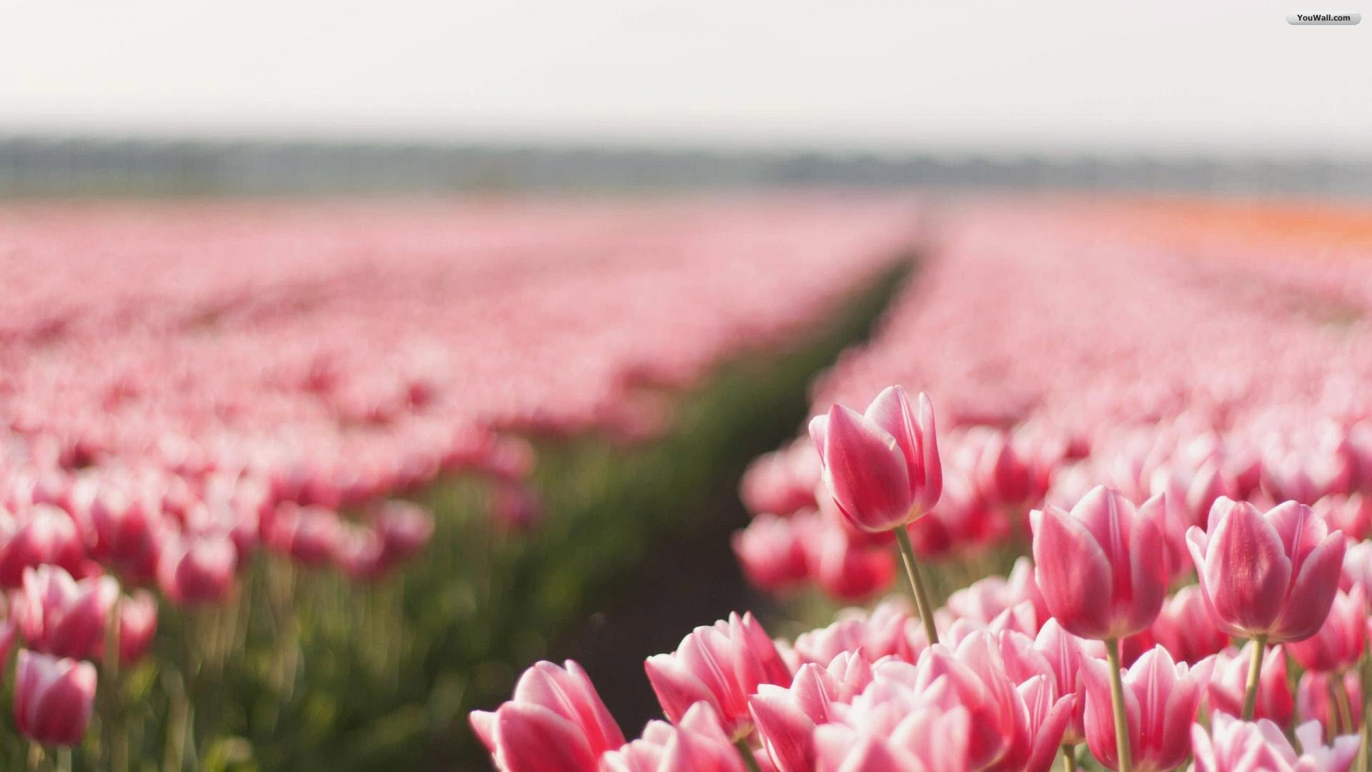 Tulip Fields – Live HD Tulip Fields Wallpapers, Photos