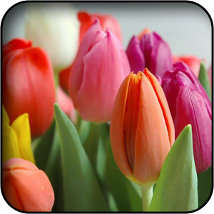 39827684 Tulip Wallpaper | Download for Free