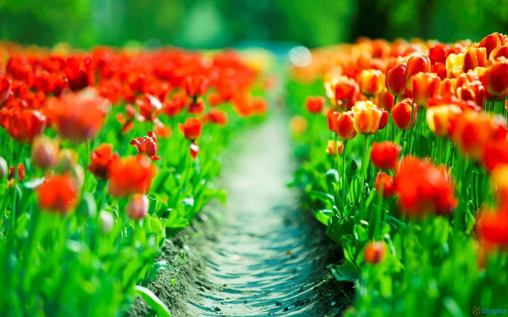 Tulip Wallpapers | Top 12 Tulip Wallpapers