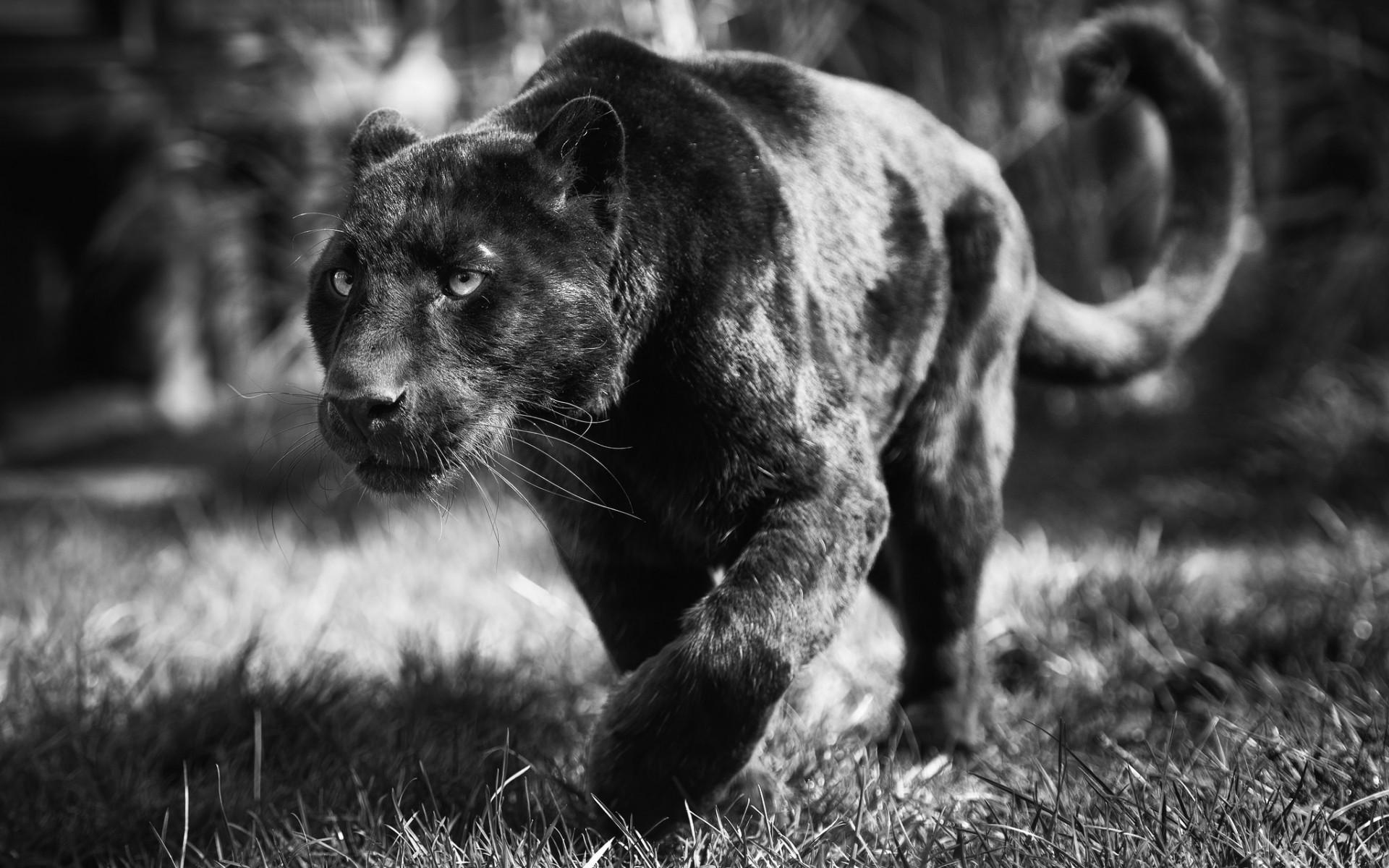 PC.8888, Black Panther HD Photo