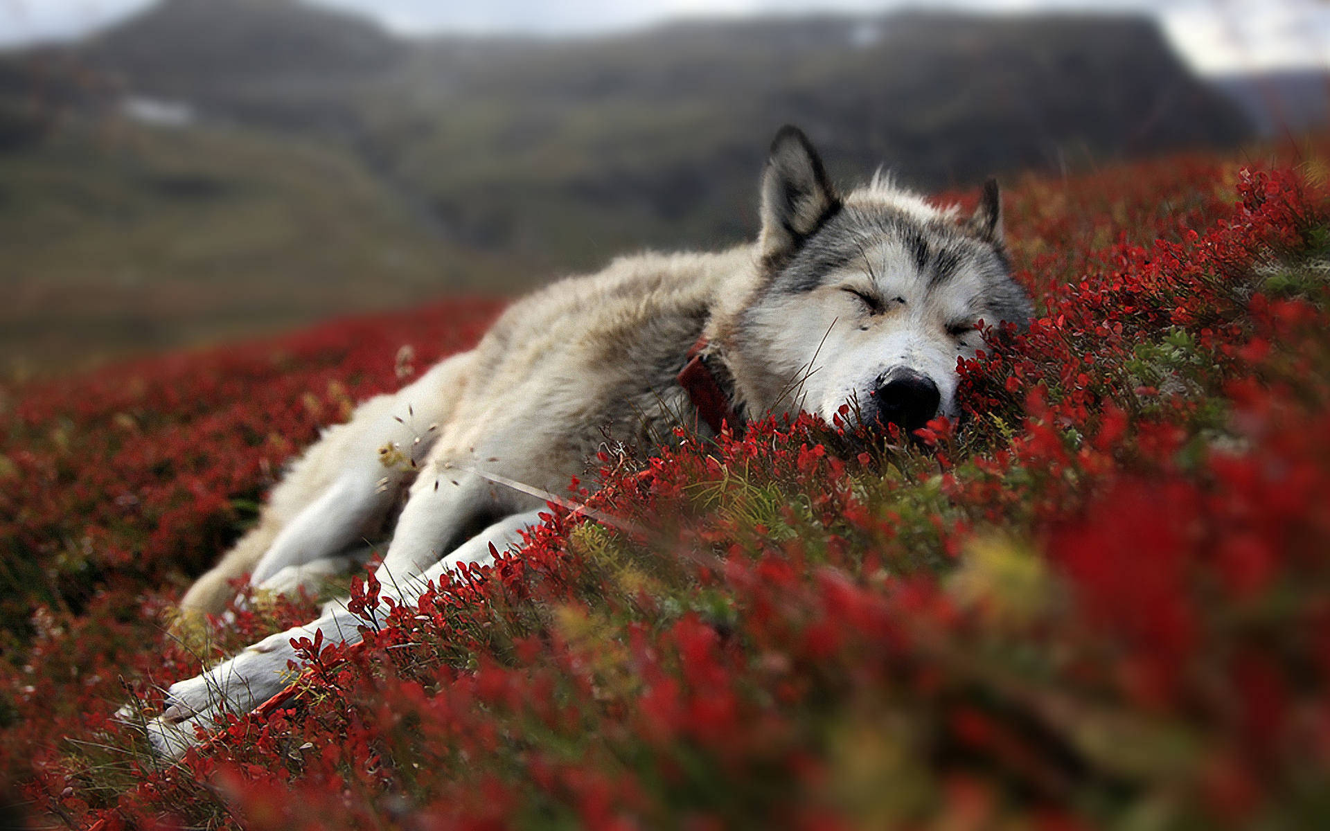 #27286651 1920x1200 px Wolf Wallpapers | Wolf Wallpapers Collection