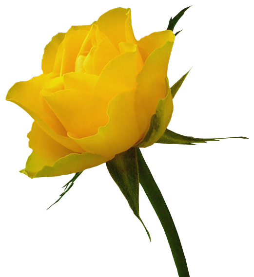 Yellow Rose HD Wallpapers, Desktop Images