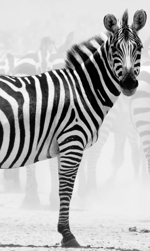 PC.4343, Zebra, HD Photo Collection