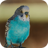 Budgie Wallpapers ILF19