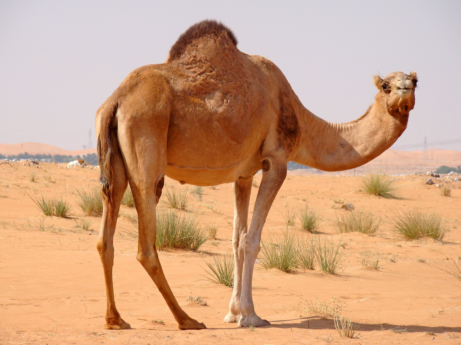 Top HDQ Camel Images